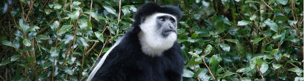 Colobus monkey on Kilimanjaro - illustration for background Information