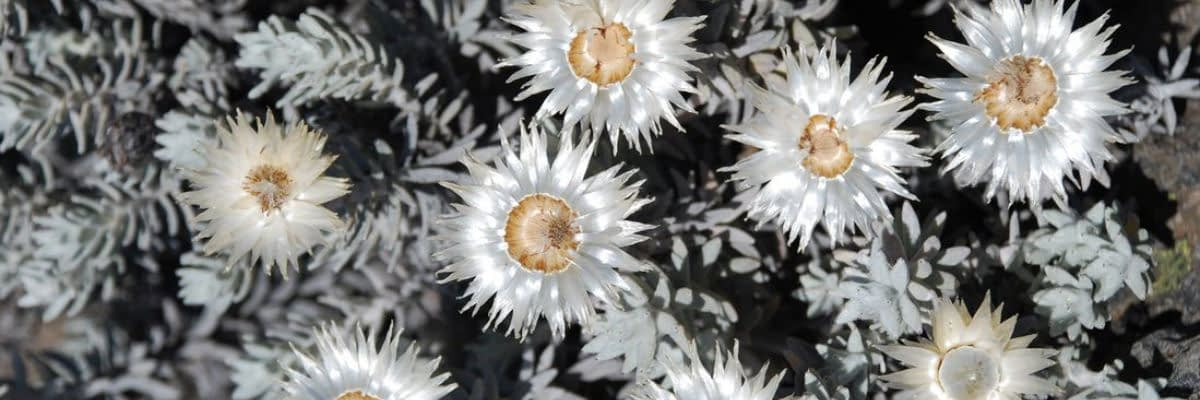 Close-up of an everlasting or helichrysum