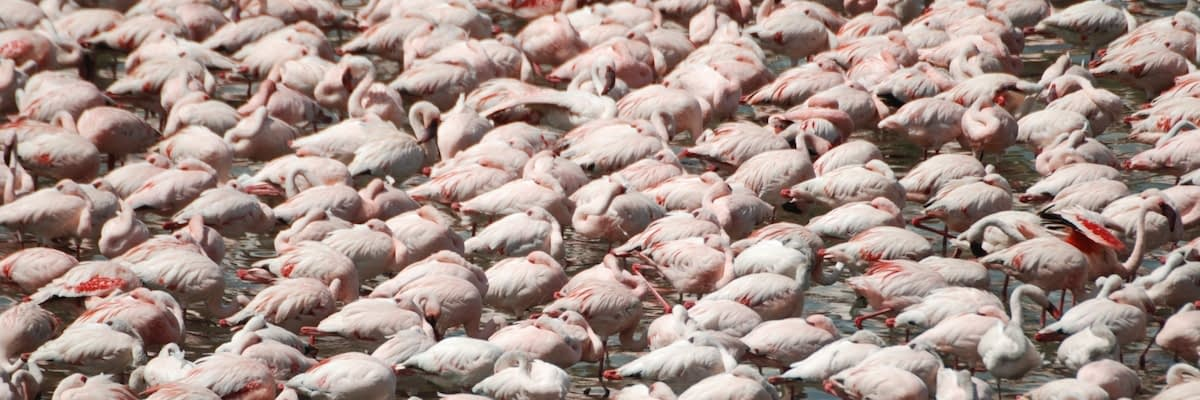 Flamingoes by the thousand in Arusha National Park - what's the latest news?
