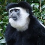 The black and white Colobus monkey looks in the distance on Kilimanjaro
