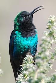 Malachite sunbird sings on Kilimanjaro's Mweka Route