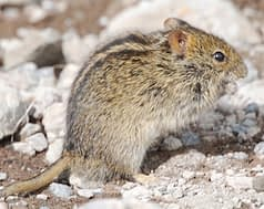 Profile picture of four-striped grass mouse feeding on a seed at Kilimanjaro's Shira 1 Campsite