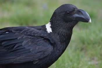 White-necked raven, a largely black bird with a white nape and beak tip