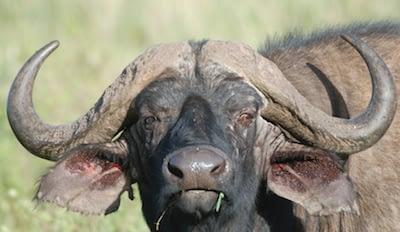 A large buffalo stares at the camera