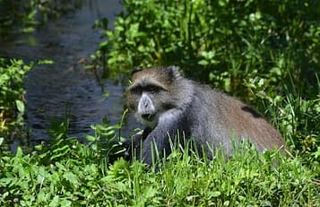Blue monkey sits crouched in the grass by a stream