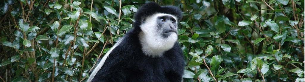 Colobus monkey on Kilimanjaro - illustration for background Information